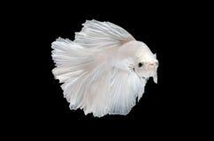 Воюя рыбы, betta на черной предпосылке Стоковые Изображения RF