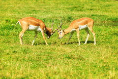 2 воюя рыжеватокоричневых антилопы на траве Стоковая Фотография
