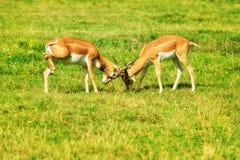 2 воюя рыжеватокоричневых антилопы на траве Стоковое Фото