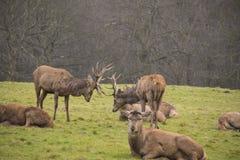 Воюя самцы оленя - бой оленей Whitetail стоковые изображения rf