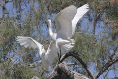 Воюя egrets в дереве Стоковые Фото