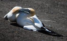 Воюя gannets Стоковое Изображение RF