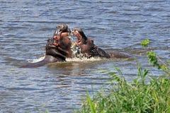 Воюя hippopotami Стоковые Изображения