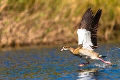 Вода бега взлета гусыни Стоковая Фотография RF