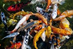 вода взгляда koi рыб угла высокая Стоковое Изображение