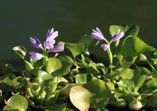 вода гиацинта eichhornia crassipes Стоковая Фотография