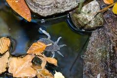 вода гиганта семьи черепашки belostomatidae Стоковое Изображение RF
