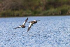 Вода летания птиц гусынь низкая Стоковые Изображения