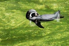 вода заплывания пингвина humboldt Стоковое Изображение