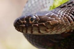 вода змейки sipedon nerodia северная Стоковое Изображение RF