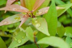 вода листьев капек свежая Стоковые Изображения RF