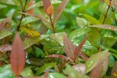 вода листьев капек свежая Стоковое фото RF