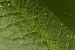 вода листьев капек Стоковое Изображение