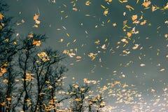 вода листьев осени Озеро осен в парке Упаденное leav Стоковые Изображения