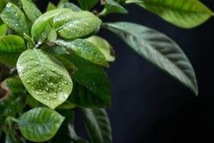 вода листьев падений зеленая Черная предпосылка Стоковая Фотография
