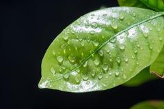 вода листьев падений зеленая Черная предпосылка Стоковые Фото