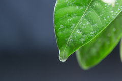 вода листьев падений зеленая Черная предпосылка Стоковое Изображение