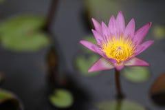 вода лилии одиночная Стоковое фото RF