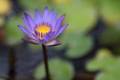 вода лилии одиночная стоковая фотография rf