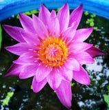 вода лилии розовая Стоковое Фото