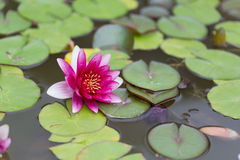 вода лилии розовая Стоковая Фотография RF