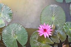 вода лилии розовая Стоковое фото RF