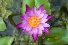 вода лилии розовая стоковые фото