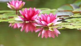 вода лилии розовая видеоматериал