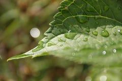вода макроса листьев 4 падений предпосылки голубая Стоковое Изображение