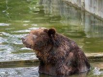 вода медведя коричневая Стоковые Фото