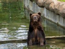 вода медведя коричневая Стоковое Изображение