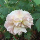 Вода на бледном - роза пинка Стоковое Изображение