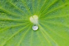 вода лотоса листьев падения Стоковое Изображение