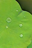вода лотоса листьев падения Стоковая Фотография RF