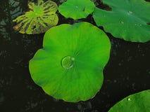 вода лотоса листьев падения Стоковые Фотографии RF