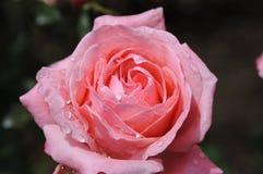 вода падений розовая розовая Стоковые Изображения RF