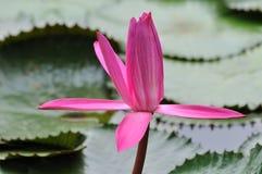 вода пинка лепестка лилии Стоковое Изображение