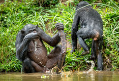 Вода питья карликового шимпанзе стоковые фото
