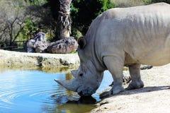 Вода питья носорога Стоковое фото RF