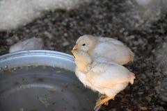 Вода питья 2 цыпленоков Стоковые Фотографии RF