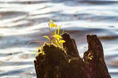 Вода пня ростка Стоковое Фото