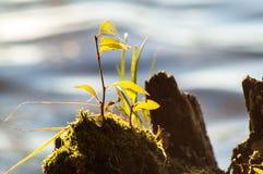 Вода пня ростка Стоковое фото RF