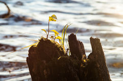 Вода пня ростка Стоковые Фотографии RF