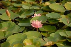 вода пруда лилии Стоковое Фото