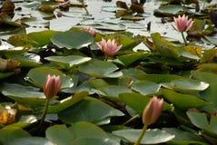 вода пруда лилии Стоковые Фото