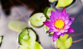вода пурпура лилии цветка Стоковая Фотография RF