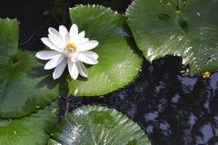 вода пусковых площадок лилии Стоковое Изображение RF
