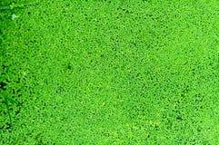 Вода плавает в листья duckweed Стоковые Фотографии RF