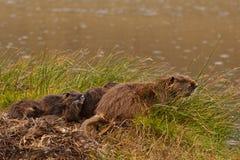 Вода семьи ондатры входя в Стоковое фото RF