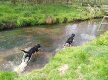 Вода собаки Лабрадора идя стоковая фотография rf